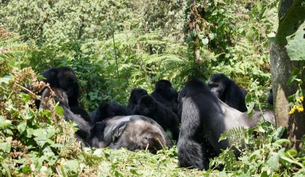 Gorillas engaged with the body of a deceased male who belonged to the same species but was not a member of the same social group