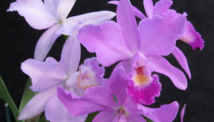 Here's How Horticulturalists Made the Michelle Obama Orchid
