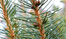 Can Science Produce a Longer Lasting Christmas Tree?
