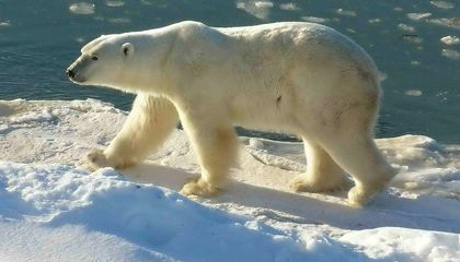 It's Not Too Late to Save the Polar Bear