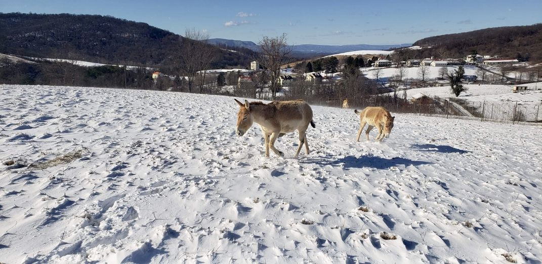 Two Persian onagers gallop through a snow-covered pasture in January at the Smithsonian Conservation Biology Institute in Front Royal, Virginia.