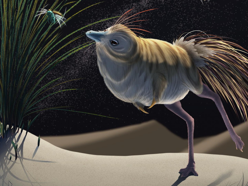 An illustration shows a feathered dinosaur with long legs and a very round body hunting a bug on tall grass
