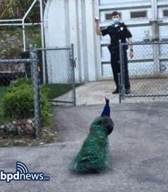 Police luring peacock