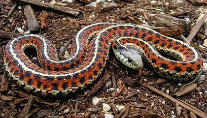 Mating Snakes Engage in a Literal Battle of the Sexes
