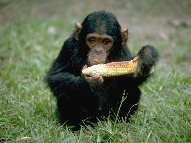 chimpanzees can learn to cook smart news smithsonian