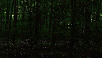 This Is the Best Place in North America to See Synchronous Fireflies