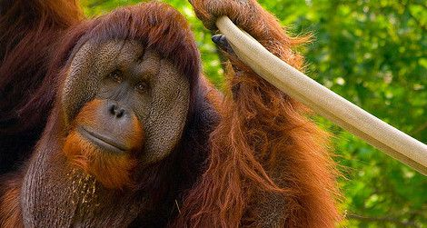 Why Some Orangutans Never Want To Grow Up Science