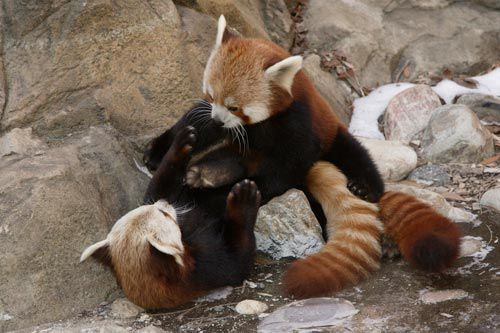 National Zoo Red Panda Meets New Mate ©Smithsonian's National Zoo .