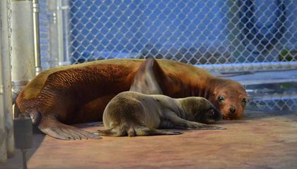 Proud Sea Lion Mom Shows Off Her New Pup in These Adorable Pictures From the Zoo