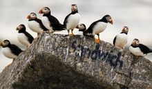 Puffins on Eastern Egg Rock