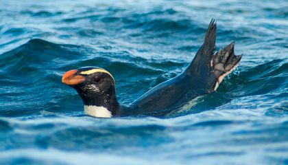 New Zealand Penguins Make an Epic, Pointless, Swim to the Southern Ocean