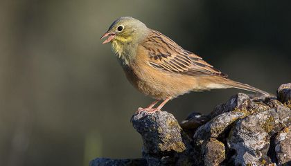 Ortolans, Songbirds Enjoyed as French Delicacy, Are Being Eaten Into Extinction