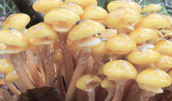 Preview thumbnail for video'Weird Science: Humongous Fungus