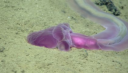 Mission to Mariana Trench Records Dozens of Crazy Deep Sea Creatures