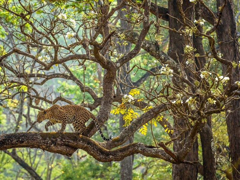 It was a quiet morning at Nagarahole Tiger Reserve, Karnataka. Sun was opening up, and mist from the night was clearing. As we drove through the woods we saw this beautiful leopardess perching on her favorite tree. Ever since I started wildlife photography, I dreamt of seeing leopard on a tree. But for me, it took over 3 years to find it. On that day I lived my dream by witnessing it, and that moment was truly magical indeed. I love everything about this picture: a prowling leopardess in its natural habitat, a beautiful tree with the white flowers, soft sunlight. It was just a perfect setting like a DREAM.