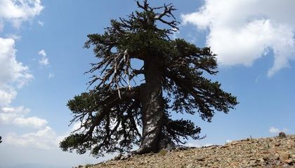 Celebrating at Least 1,075 Years, This Pine Could Be Europe's Oldest Tree