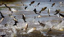 Asian carp in Mississippi River