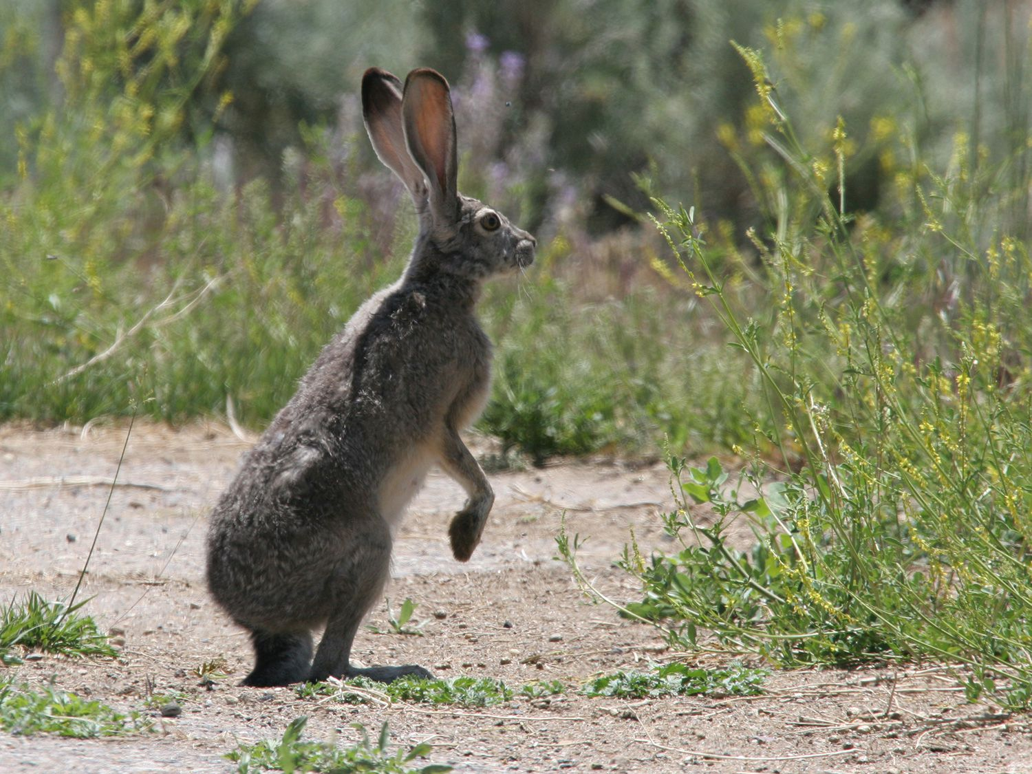 North American Rabbits Face a Deadly Virus