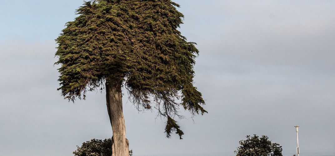 Caption: La Jolla's 'Lorax' Tree Has Fallen