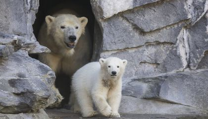 Image: Berlin zoo unveils name of latest polar bear cub