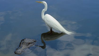 Wading Birds 'Pay' Alligators for Their Protection