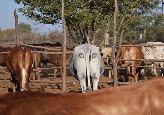 Painting Eyes on Cow Butts Could Save Cattle and Lion Lives
