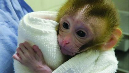 Baby Monkey Born Using Frozen Testicular Tissue, Giving Hope for Infertile Childhood Cancer Survivors