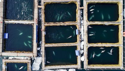 Russia Will Free 97 Orcas, Belugas Held in Cramped 'Whale Jail' Since Last Summer