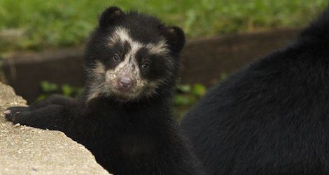 Andean cubs