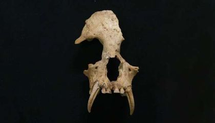 Extinct Gibbon Species Discovered in 2,000-Year-Old Chinese Tomb