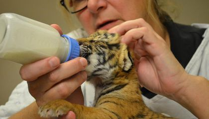 Meet the Cincinnati Zoo's Three Newborn Malayan Tigers