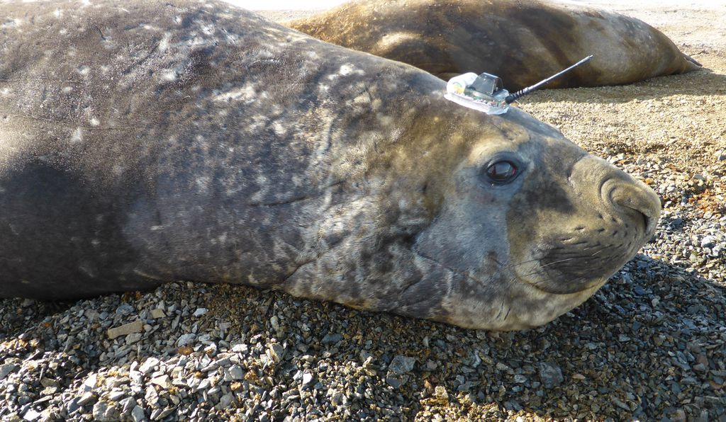A beached elephant seal, ready to plumb the depths for data.