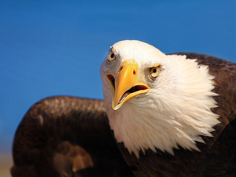Eagle close-up