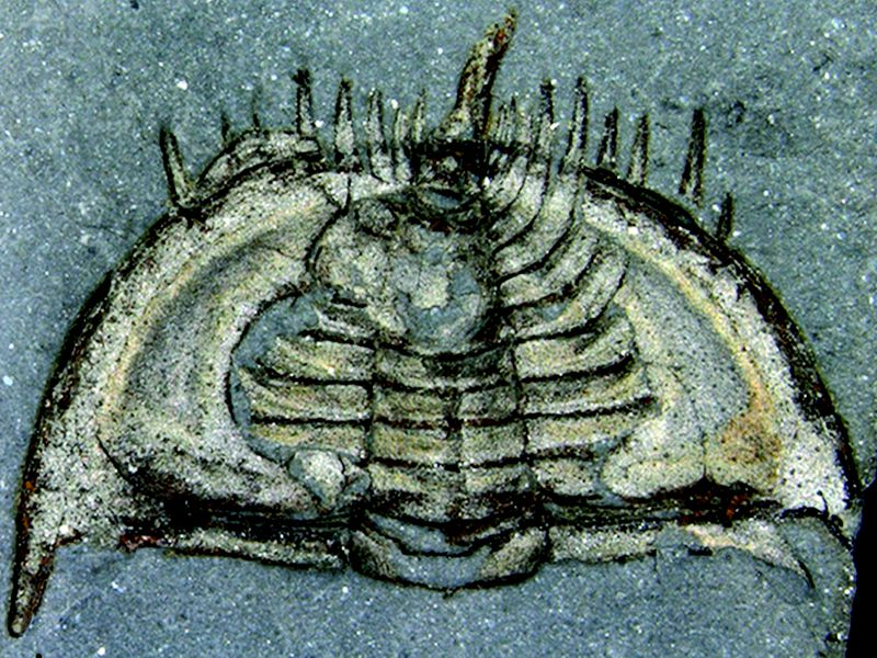 Rolly-polly trilobite