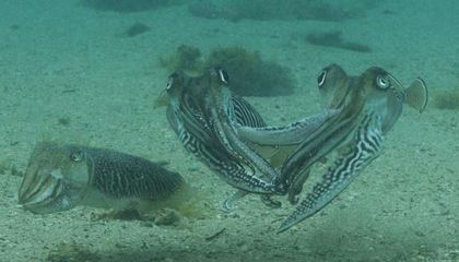 Watch Two Cuttlefish Fiercely Battle Over a Mate
