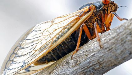 This Fungus Eats the Butts off Cicadas