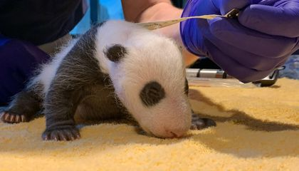 The Zoo's 1-month-old giant panda cub had its first veterinary exam over the weekend. Get the scoop from Laurie Thompson, assistant curator of giant pandas.