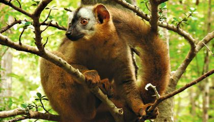 Lemurs Smear Bugs on Their Privates to Ward Off Infection