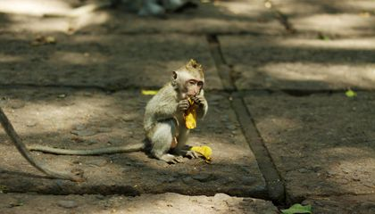 Monkeys in Bali Swipe Tourists' Belongings and Barter Them for Snacks