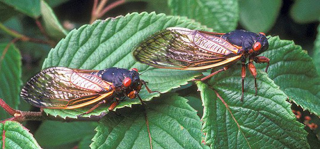 Caption: What to Expect When the Cicadas Emerge This Spring