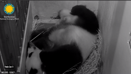 BREAKING: A Panda Cub is Born at the National Zoo (Video)