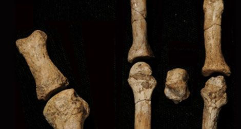 The eight bones of the new fossil foot discovered in Ethiopia.