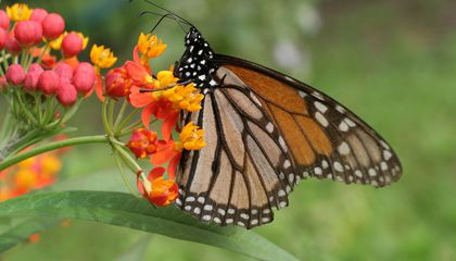 How This Popular Garden Plant May Spread Parasites That Harm Monarchs