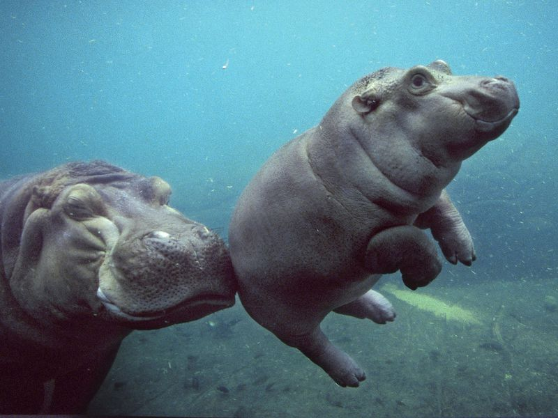 baby hippo - Pictures Of Hippos