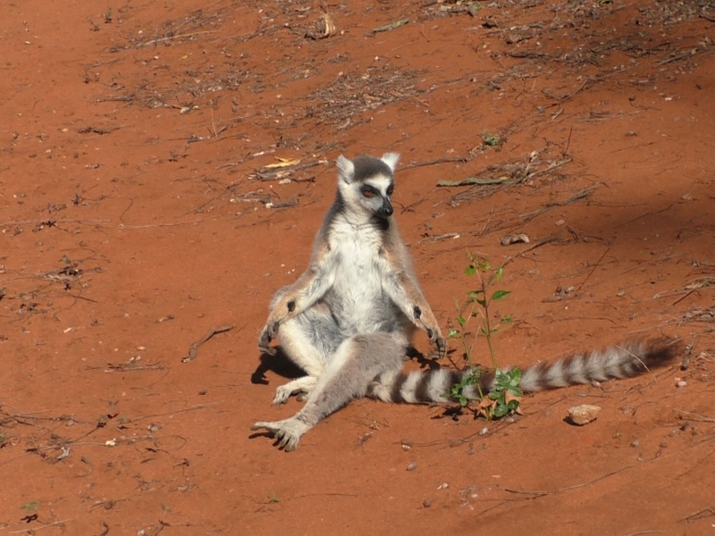 A male lemur with visible scent glands on its wrists.
