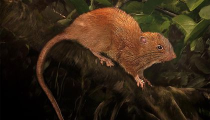 Fall in Love With This Newly Discovered Giant Island Rat