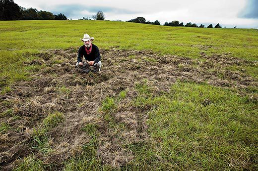 Wild Hogs Tear Up Fields And Forests By Rooting As Deep As Three Feet And Eating Almost Anything Tom Quaca Examines Porcine Damage To A Field Of Bexia