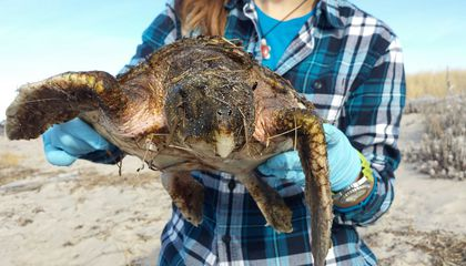 Why Are Endangered Sea Turtles Showing Up Cold and Seemingly Lifeless on Northeastern Shores?