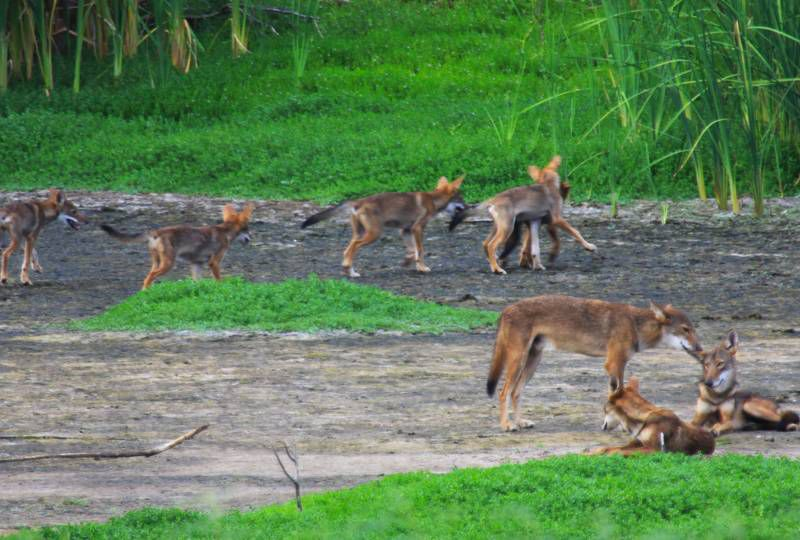 Pack of Wild Dogs in Texas Carry DNA of Nearly Extinct Red Wolf