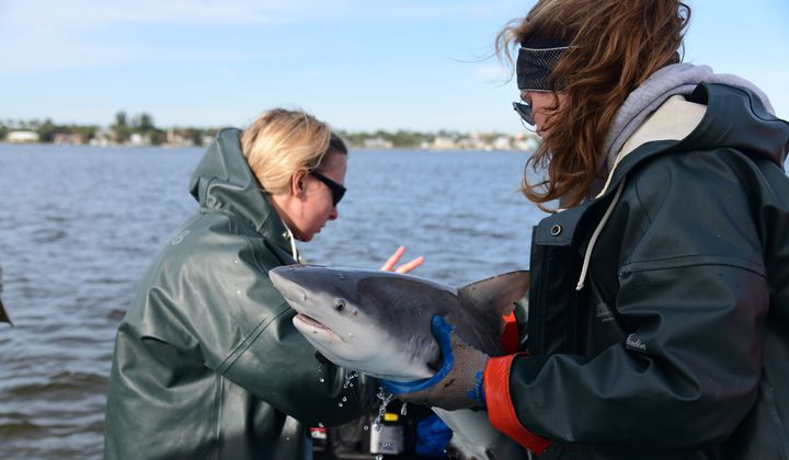 SERC interns Michelle Edwards (left) and Claire Mueller (right) get ready to release a tagged bull shark. (Credit: Jay Fleming/Smithsonian)
